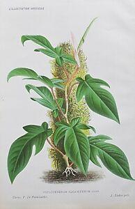 1886 PHILODENDRON SQUAMIFERUM Genuine Antique Botanical Print LINDEN