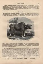 Gaur Bos gaurus Mufflon Ovis gmelini musimon mouflon HOLZSTICH von 1866