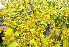 Oncidium altissimum ( Orchid species)