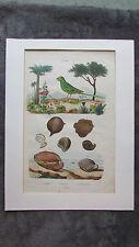 Gravure en couleur XIXè s. Perruche Ingambe Inocarpe Inocerame Ornithologie