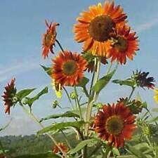 Autumn Helianthus Perennial Flowers & Plants
