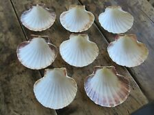 8 Number Scallop Shells - Croque St Jaques/Cooking/Crafts/Deecoration