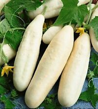Seeds Cucumber White Angel Pickling Vegetable Organic Russian Ukraine