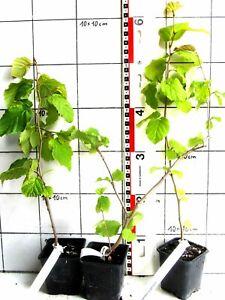 Hamamelis virginiana  -  amerikanische Zaubernuss (Medizinal-Pflanze) im Topf