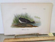 Vintage Print,AMERICAN COOT,Chromo,Birds of Pennsylvania,Warren,1888