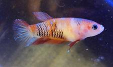 New listing Usa Breeder - live female betta - hmpk - nebula fire- rainbow galaxy koi