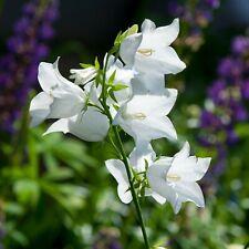 White Bell Flower Bulb 1 Pcs Home Garden Planting Bonsai Multi Orchids