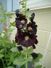 50+  DANISH BLACK HOLLYHOCK FLOWER SEEDS / PERENNIAL