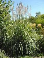 Ornamental Grass Seed - Erianthus Ravennae Seeds