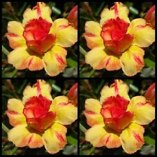 Adenium~Desert Rose < TONGYORD > Suit Bonsai Indoor~10 SEEDS