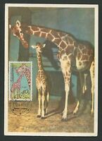 CSSR MK 1977 FAUNA GIRAFFE GIRAFE MAXIMUMKARTE CARTE MAXIMUM CARD MC CM d2217