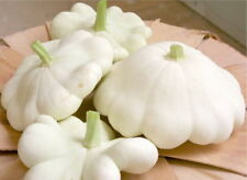 55 White Bush Scallop Patty Pan Squash Seeds HEIRLOOM - Gift - COMB S/H