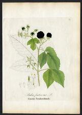 1860 DIETRICH - FORSTPFLANZEN Gemeiner Brombeerstrauch – Rubus fruticosus #98