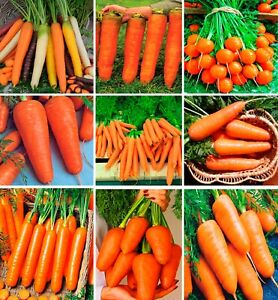 Seeds Carrot Rainbow Mix Giant Early Trophy Vegetable Planting Organic Heirloom