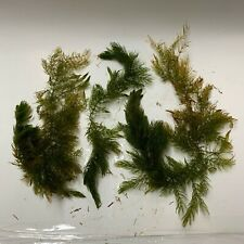 New listing Buy2Get1Free! Lot of Hornwort Full Small Flat Rate Box Aquarium Pond Plant Tank