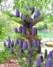 50 purple Korean fir seeds - Abies koreana - bonsai tree seeds  SOW ALL YEAR gar