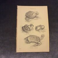 Book Print - Frogs - 1880