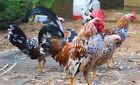 6++ Olandsk Dwarfs Ultra Rare Breed AKA: English Garden Hens Lay at 4 months!!