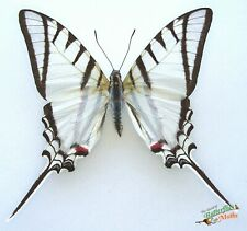 Protesilaus helios real RARE  butterfly A1- Argentina entomology Set x1 insect