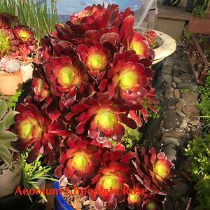 🌼 Aeonium Succulent Cuttings Pack 🌼 6PC Fresh Cut No repeat Free postage