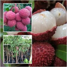 Lychee Litchi Chinensis Liche Tree Plant Tall 18'' Fruit Tropical From Thailand