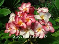 "PLUMERIA ""RIM FIRE"" Fragrant Flower Frangipani 12""-18"""