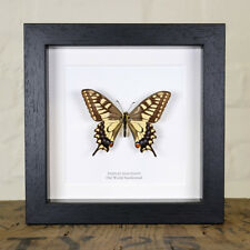Old World Swallowtail in Box Frame (Papilio machaon)