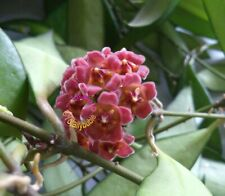Bouture Cutting  HOYA Davidcummingii