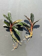 "Live Aquatic Plant | Bucephalandra ""Red Dagger"" | Nursery Grown | 2 Stem Lot"