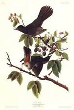 "Birds of america Audubon,""lithograph art  print 35.5 X 43CM CAT BIRD"