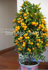 Kumquat seeds 100pcs/bag, Balcony patio potted fruit trees planted