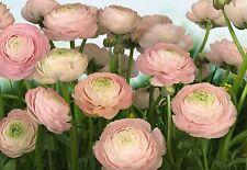 GENTLE ROSE  PINK ROSES Photo Wallpaper Wall Mural FLOWERS NATURE  368x254cm