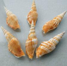 Natural Beautiful top rare real sea Shell Conch aquarium YBK034