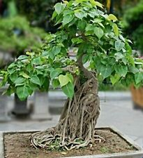 Pappelfeige Seeds, Ficus Religiosa, Buddha Tree, Bodhi Tree, Bonsai Suitable