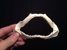 Taxidermie Cabinet de curiosités Machoire de requin 12/15cm!! shark jaw!