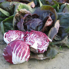 100 pcs Red ball CHICORY Belgian Endive vegetable seeds