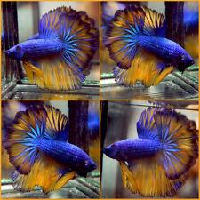Live Betta Fish Super Blue Mustard Rosetail Hm Male #A336