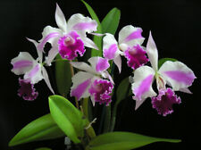 Orchid Cattleya Excelsior The Globe  **NEW**