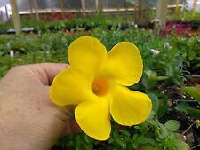 MANDEVILLA VINE - YELLOW -1 PLANTS - QUART POT - TRUE VINING MANDEVILLA - RARE