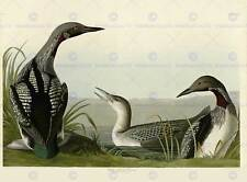 BIRDS AMERICA AUDUBON BLACK THROAT DIVER POSTER PRINT BB12470A