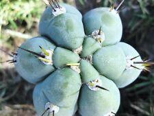 Trichocereus Peruvianus, exotic Echinopsis Peruviana columnar cereus - 20 SEEDS