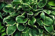 Christmas Tree Hosta - Heavy Healthy Established Roots - Quart Pot - 1 Plant