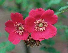 Rosa moyesii-Geranio Rose. 15 Semillas sólo 1.10 Hermoso Color Rojo