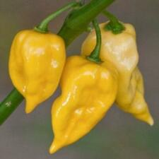 10 Lemon Habanero seeds - Free ship - Spicy/hot pepper Buy 4 get 1 Free !
