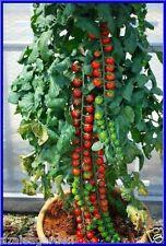 Rare imported Rapunzel Tomato  Organic Tomoto  40 seeds