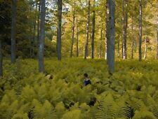 Goldfarne Begleitpflanze für den Garten 2 Knollen gelbe Riesenfarne