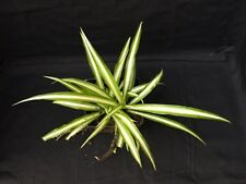 Chlorphytum Comosum, cactus, succulent, rooted cutting, collectable, plant