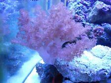 """Kenya Tree Coral Frag 1""""-3"""" On Live Rock Soft Coral Easy Beginner Coral"""