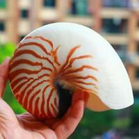 Seltene natürliche Perlmutt Schraube Nautilus Muschelschalen Korallen Sammler