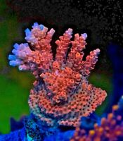 Bill Murray TSA Acro Acropora Frag Rare Live Coral SPS